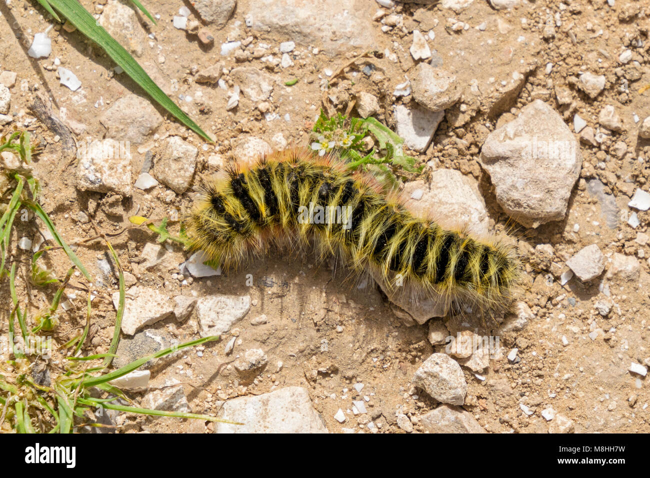 yellow and black banded woolly bear larva eating a leaf - Stock Image