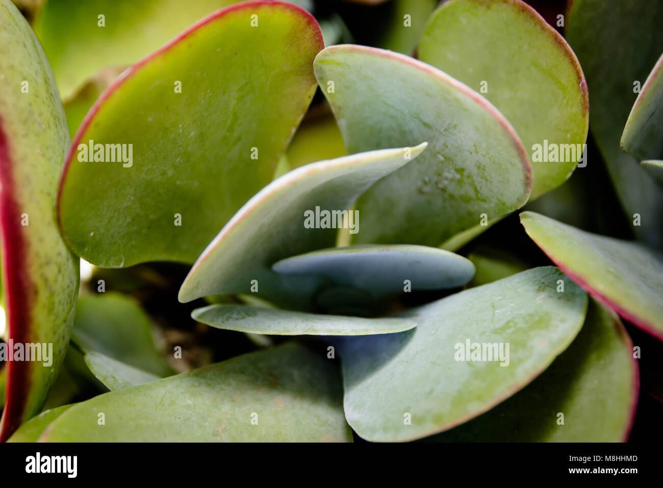 Flapjack succulent Stock Photo