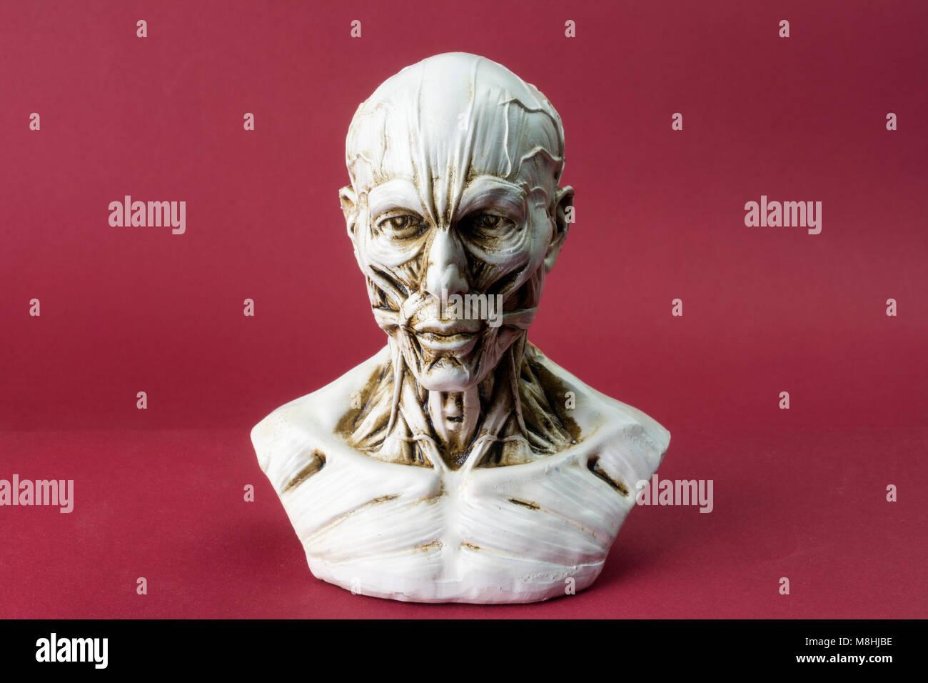 Anatomical bust - Stock Image