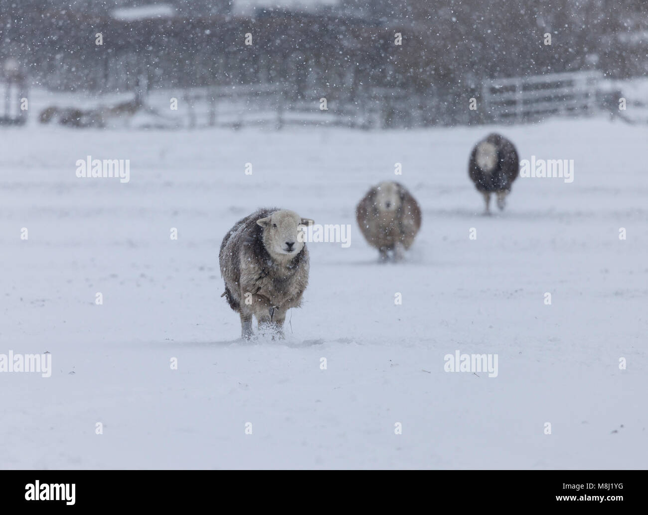 Teesdale, County Durham. Sunday 18th March 2018. UK Weather. Beast from the East 2.  It's 'snow problem' - Stock Image