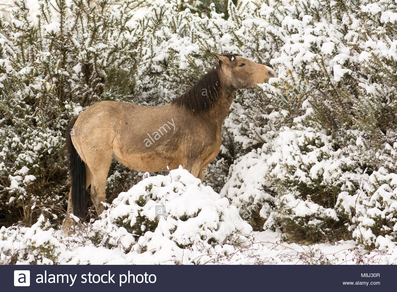 Godshill, Fordingbridge, Hampshire, England, UK, 18th March 2018: New Forest ponies forage on gorse bushes topped - Stock Image
