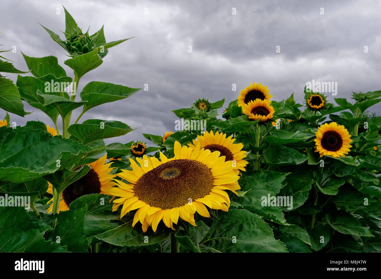 Rain clouds over a sunflower field near Biberach in the Heilbronn district, Baden-Württemberg, Germany Stock Photo