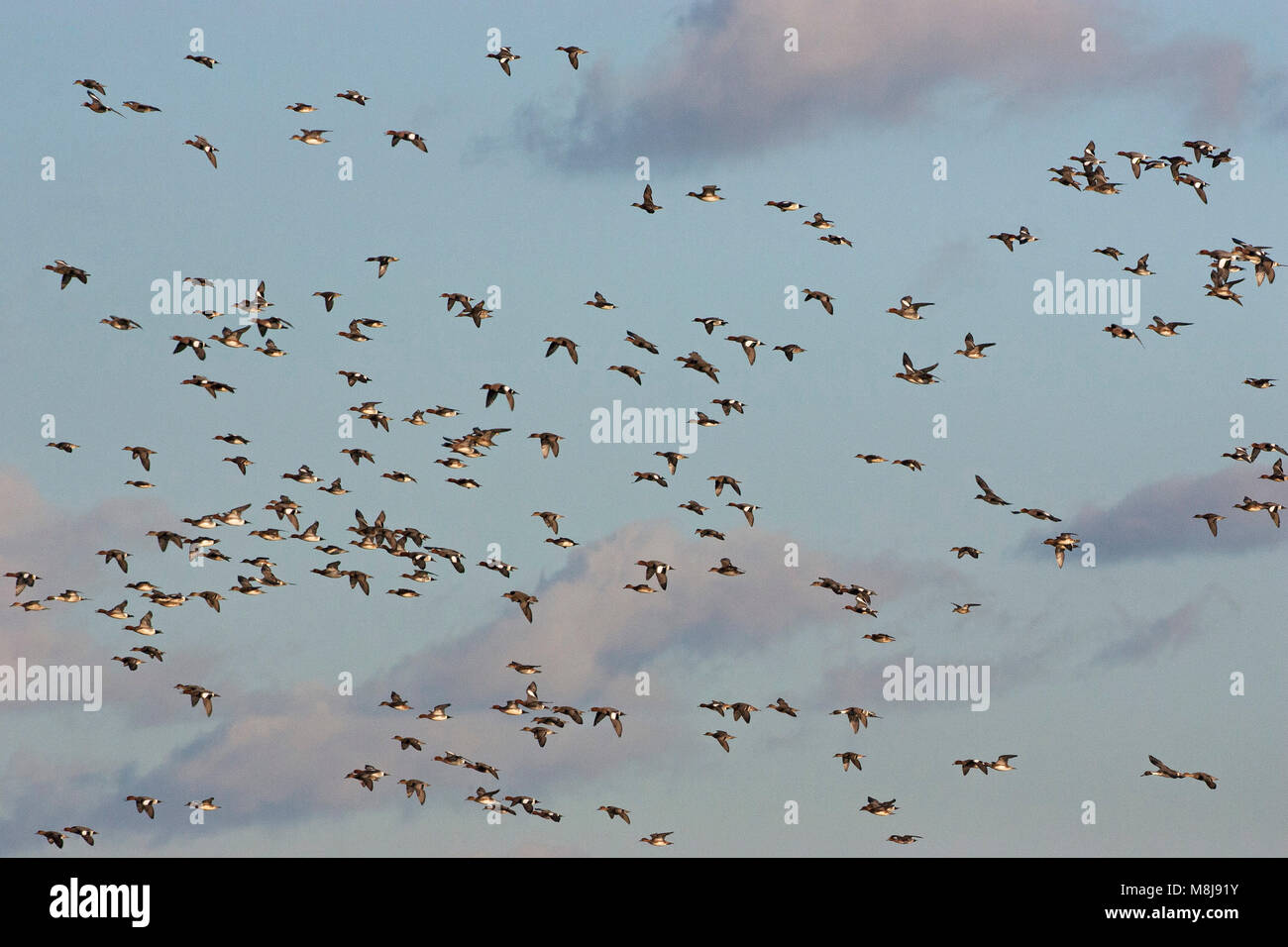 Eurasian wigeon Anas penelope and Northern pintail Anas acuta flock in flight over Catcott Lows Somerset Wildlife - Stock Image