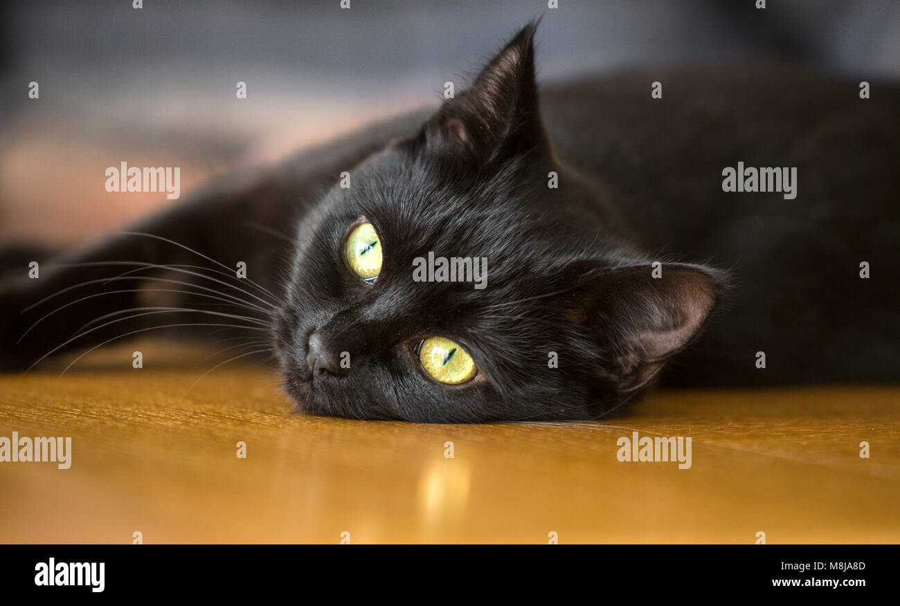 Black cat, young, short haired, head shot,watching, - Stock Image