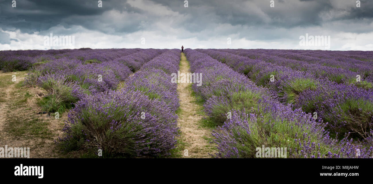 Stormy sky over a field of converging rows of lavender at Mayfield Lavender Farm - Stock Image