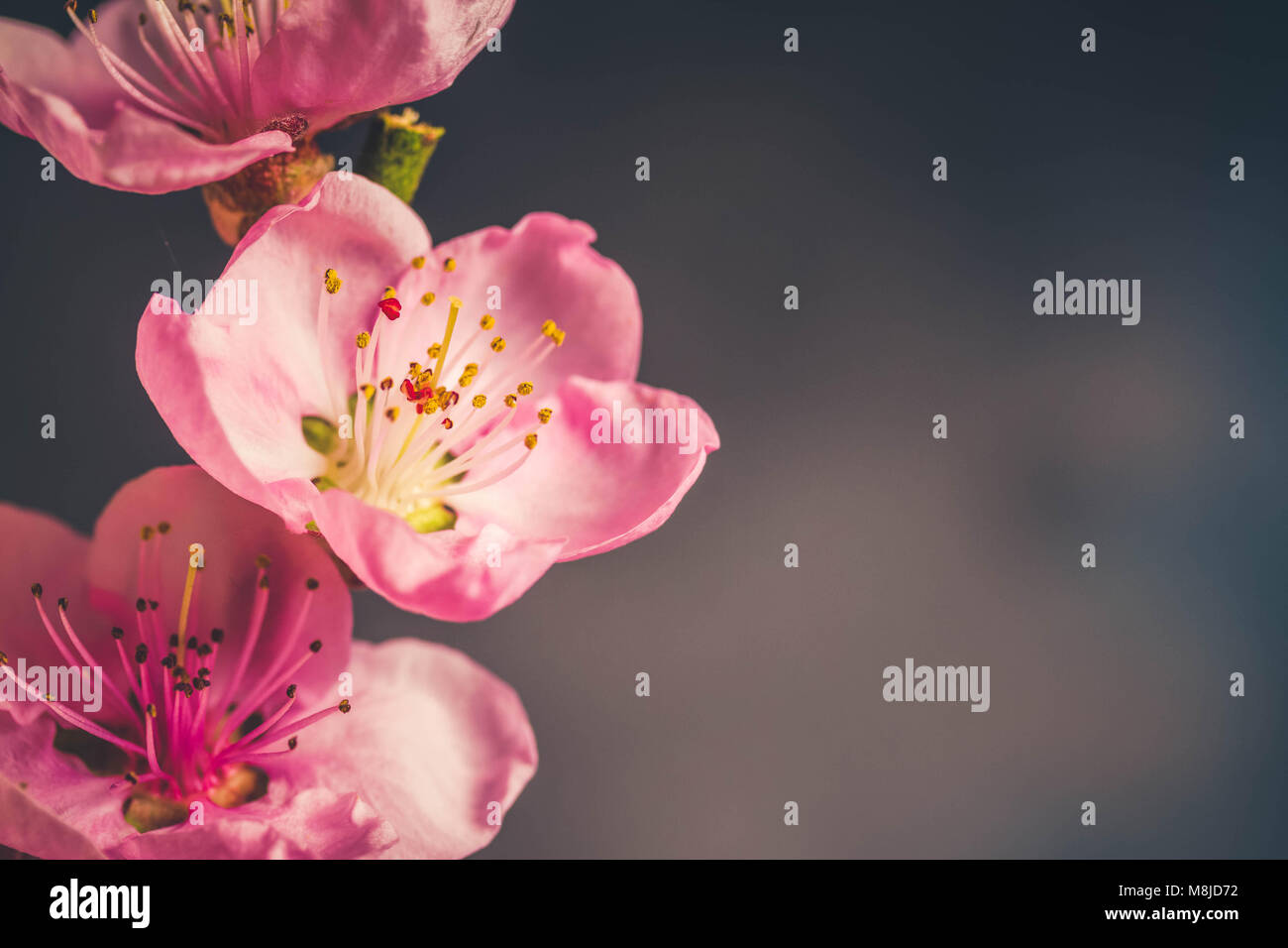 pink cherry blossom twigs close up with copy space on gray background, shalow focus, retro toned - Stock Image