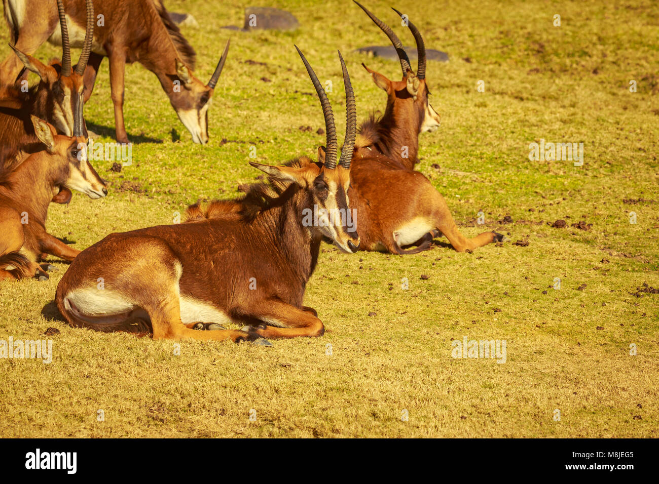 Group of Sable Antelope rest in circle, each facing different direction as safeguarding - Stock Image