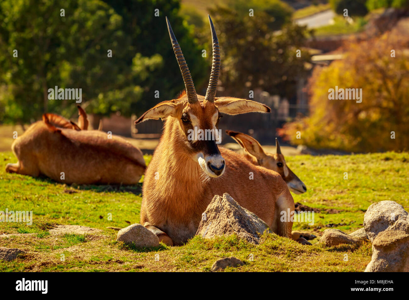 Group of Roan Antelope rest in circle, each facing different direction as safeguarding - Stock Image