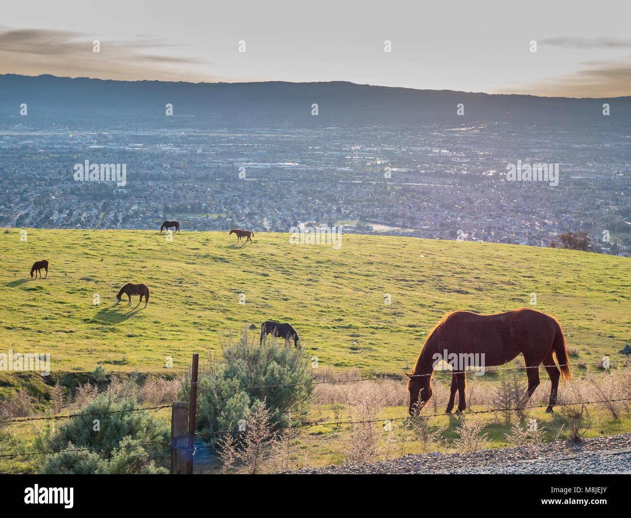 View of Brown Hourses on Green Grass with Silicon Valley in the Backgroud - Stock Image