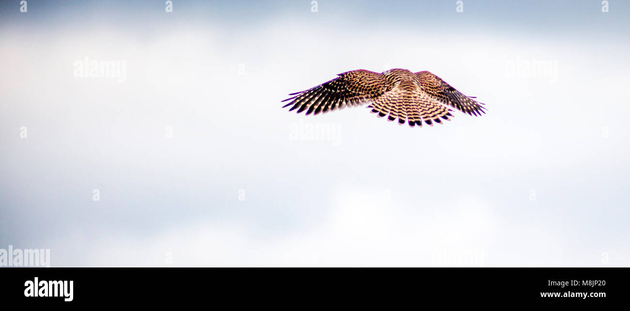 Hovering in still air a brown Kestrel of the Falcon genus readies to swoop on its small prey from 35 feet Stock Photo