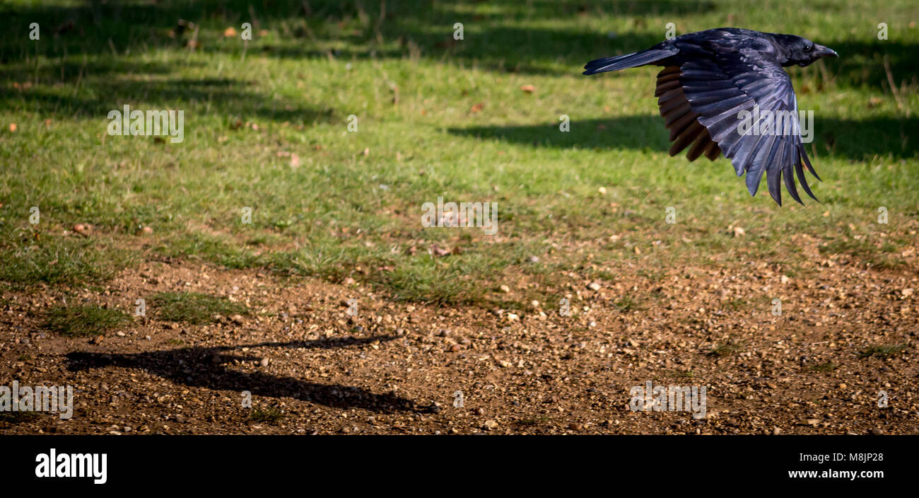 Carrion Crow's shadow tries to keeps up - Stock Image