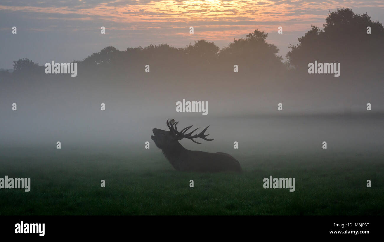 A silhouetted Stag sits barking as the sun slowly burns off the early morning mist in London's famous Richmond Park Stock Photo