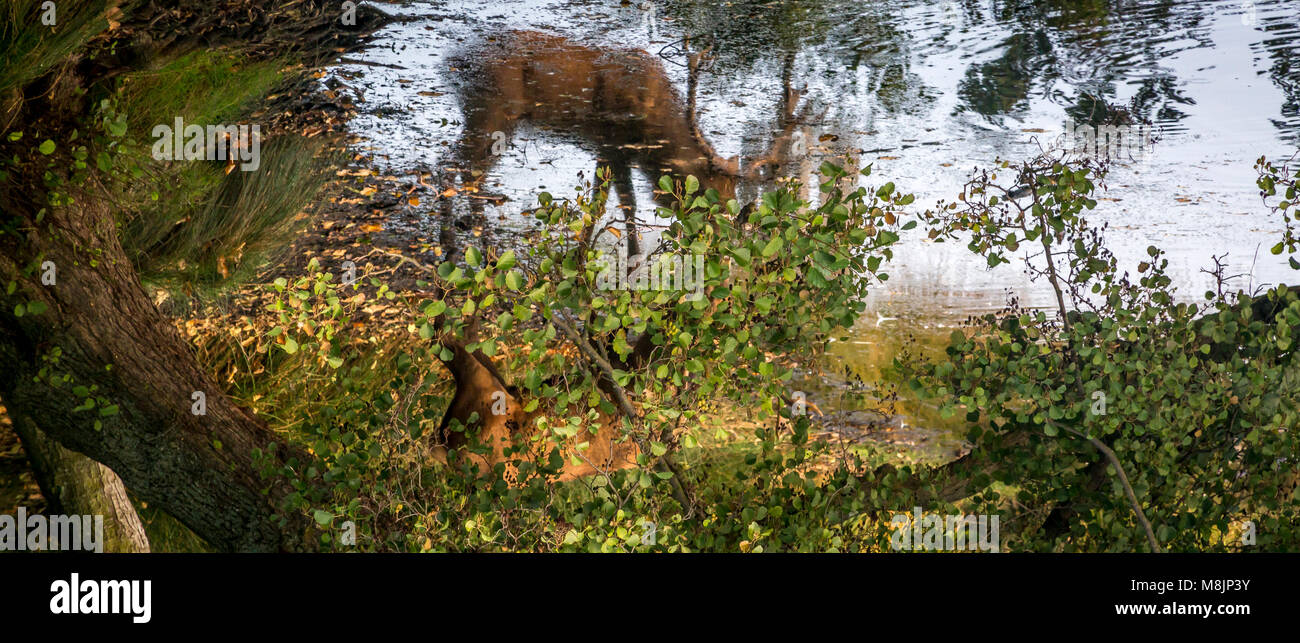 Hidden by foliage a Stag slowly drinks from his reflection in Richmond Park's Pen Pond - Stock Image