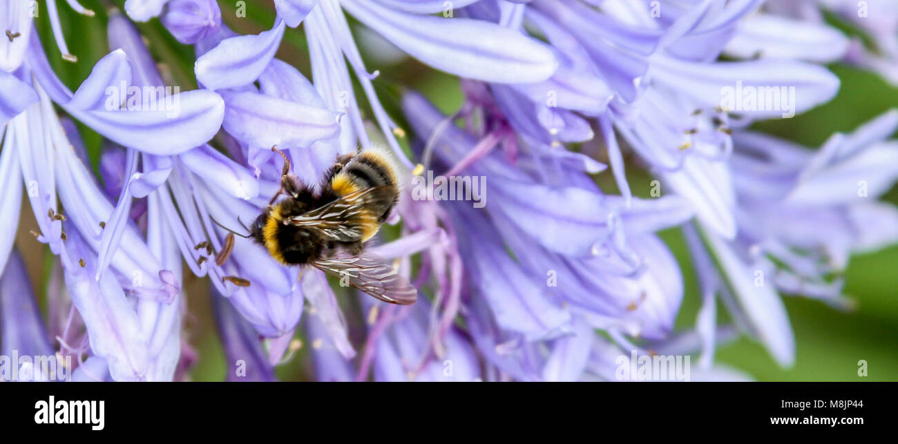 Bumblebee busily buzzing collecting nectar from an agapanthus in an English country garden - Stock Image