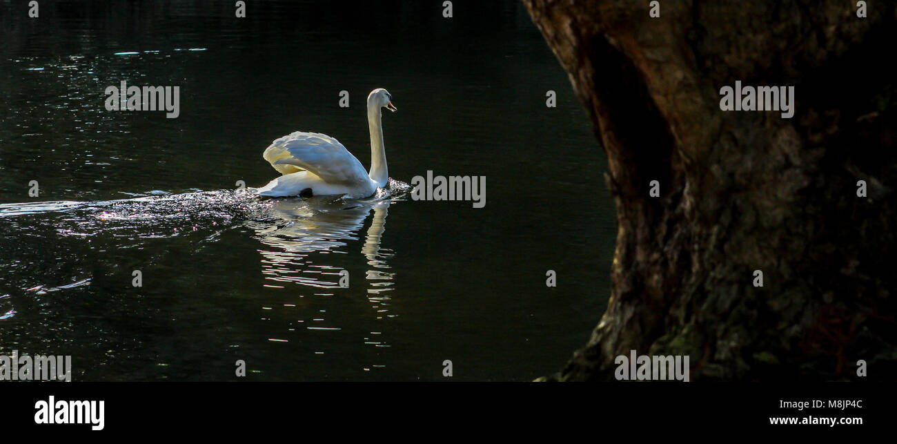 A Mute Swan floats serenely on the still Lake in the Royal Botanical Gardens in Kew Stock Photo