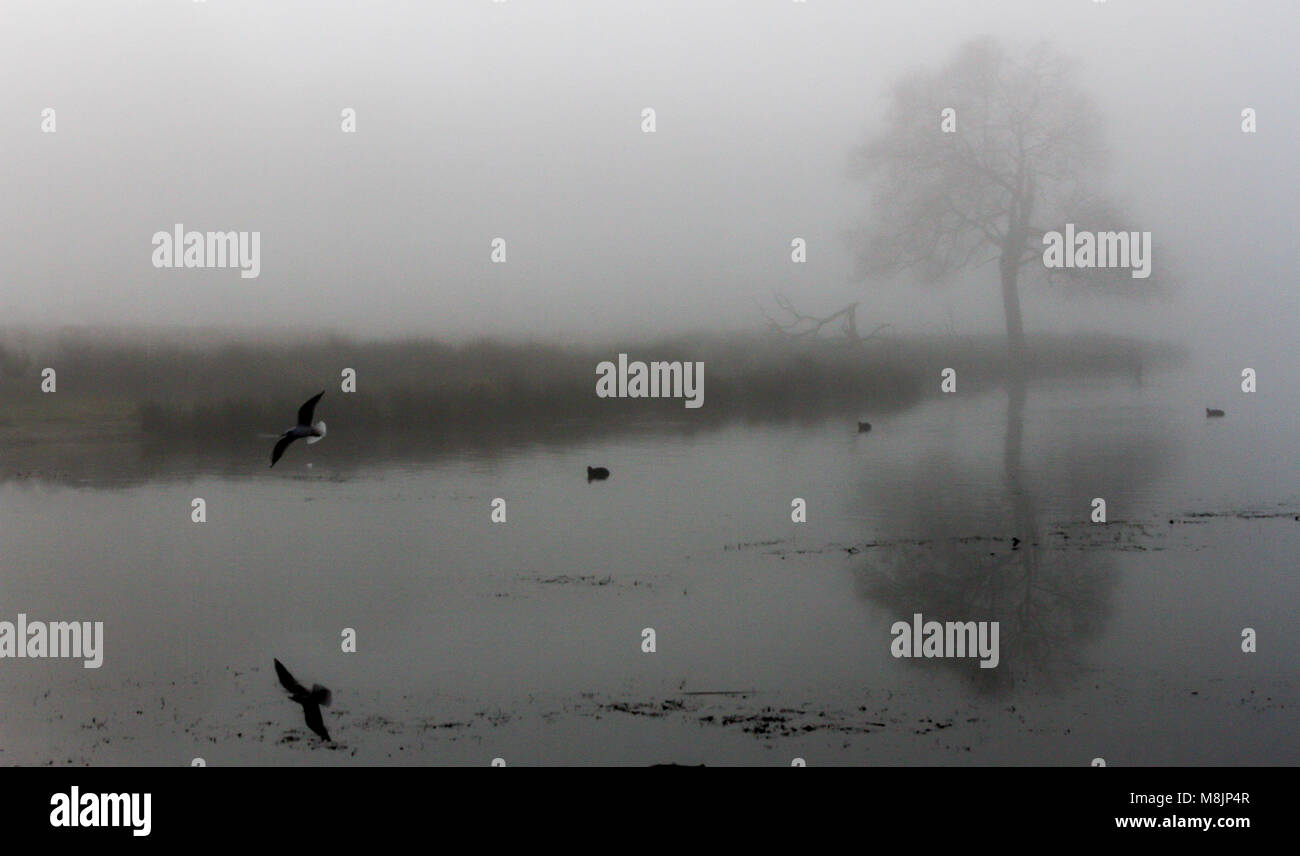 A solitary misty mirrored tree and gull are reflected in the still waters of Pen Ponds in London's Richmond Royal Stock Photo