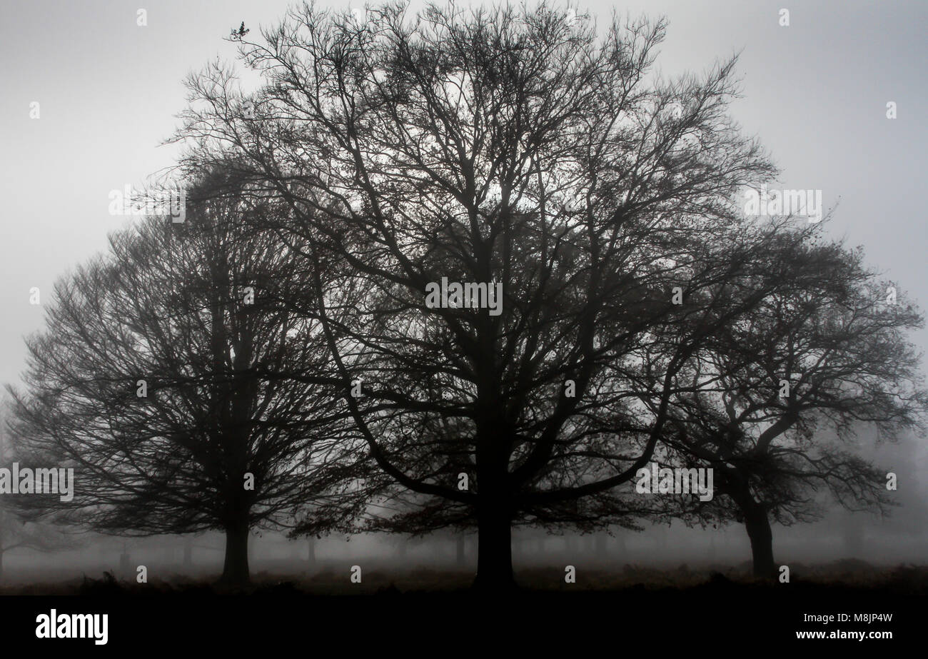 Misty early morning with three leafless mature oak trees silhouetted against an October sky in Richmond Park in Stock Photo