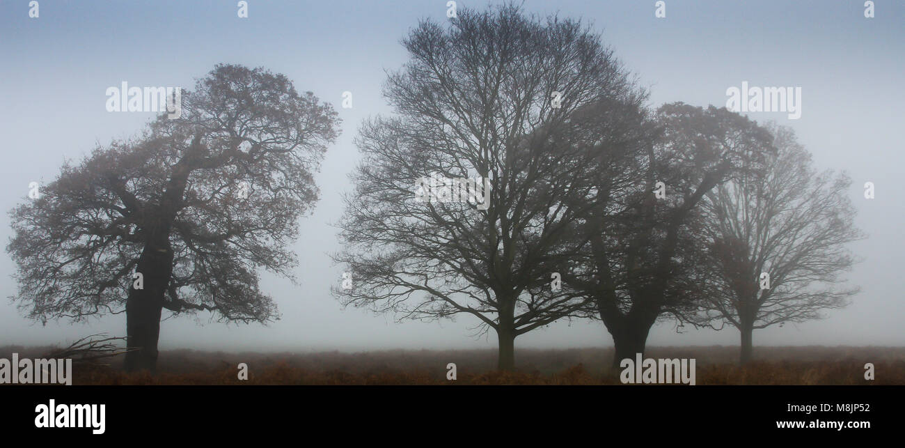 Misty early morning with four leafless mature oak trees silhouetted against an October sky in Richmond Park in London Stock Photo