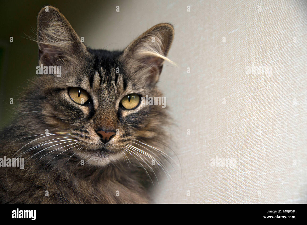 A cat waits patiently to be adopted at the local animal shelter. Stock Photo