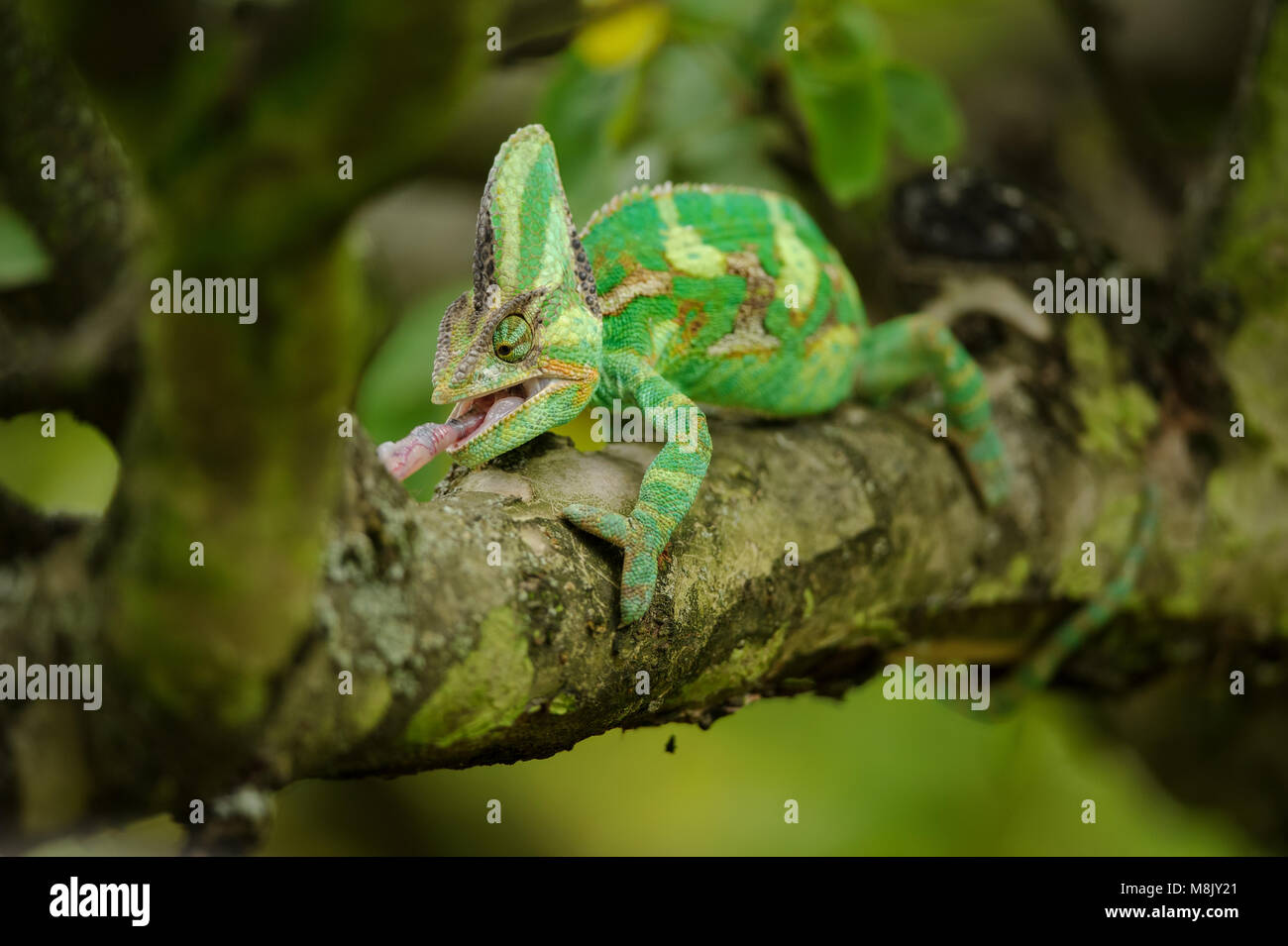 Closeup front view on hunting chameleon on tree branch - Stock Image