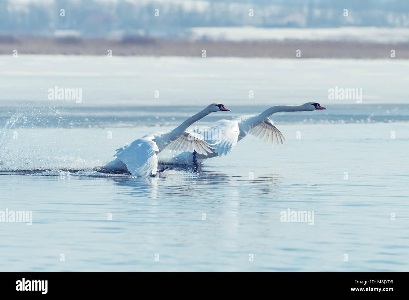 Swan taking flight on spring blue lake - Stock Image