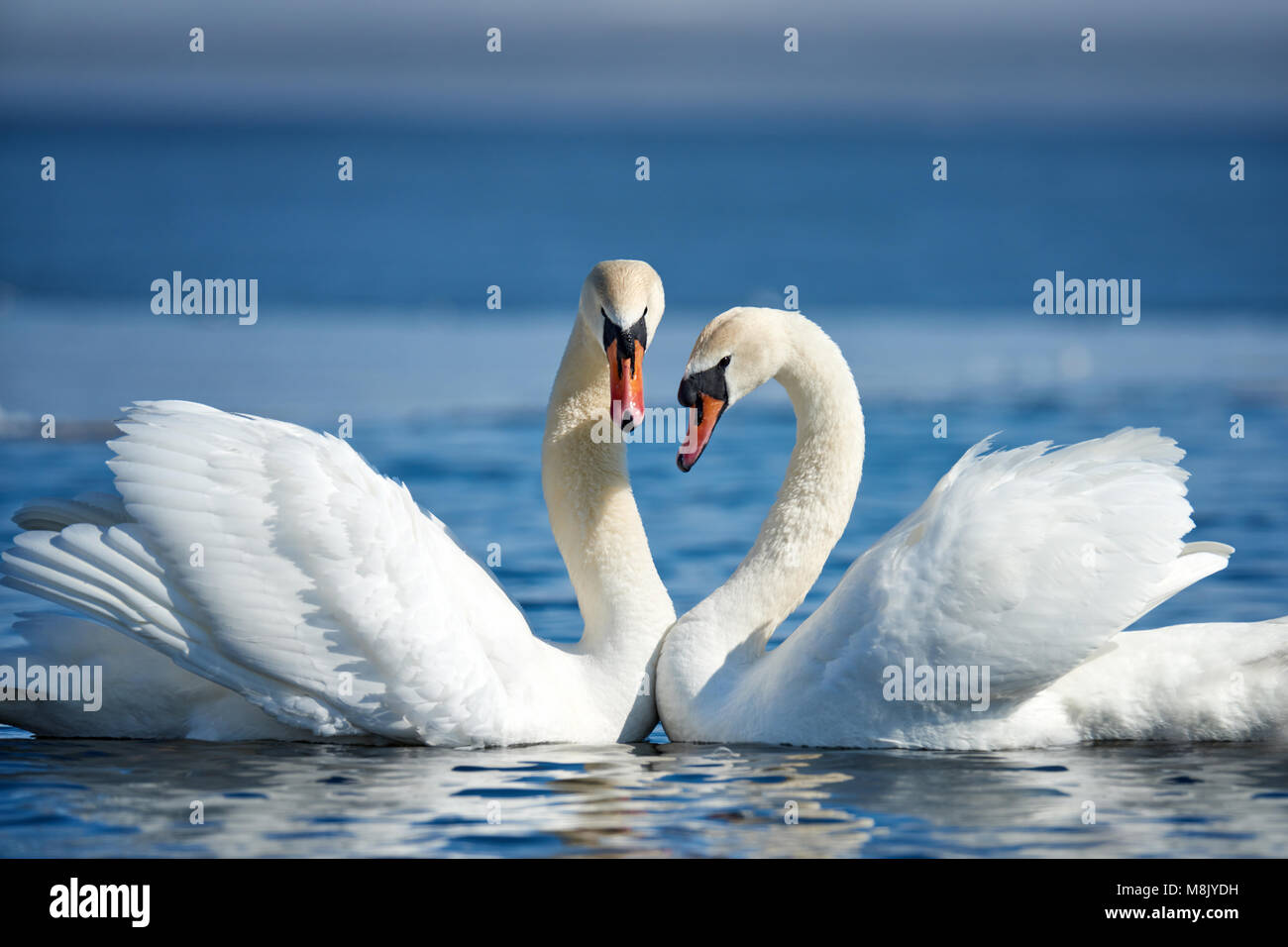 Romantic couple of swans on the lake. Swan reflection in water Stock Photo
