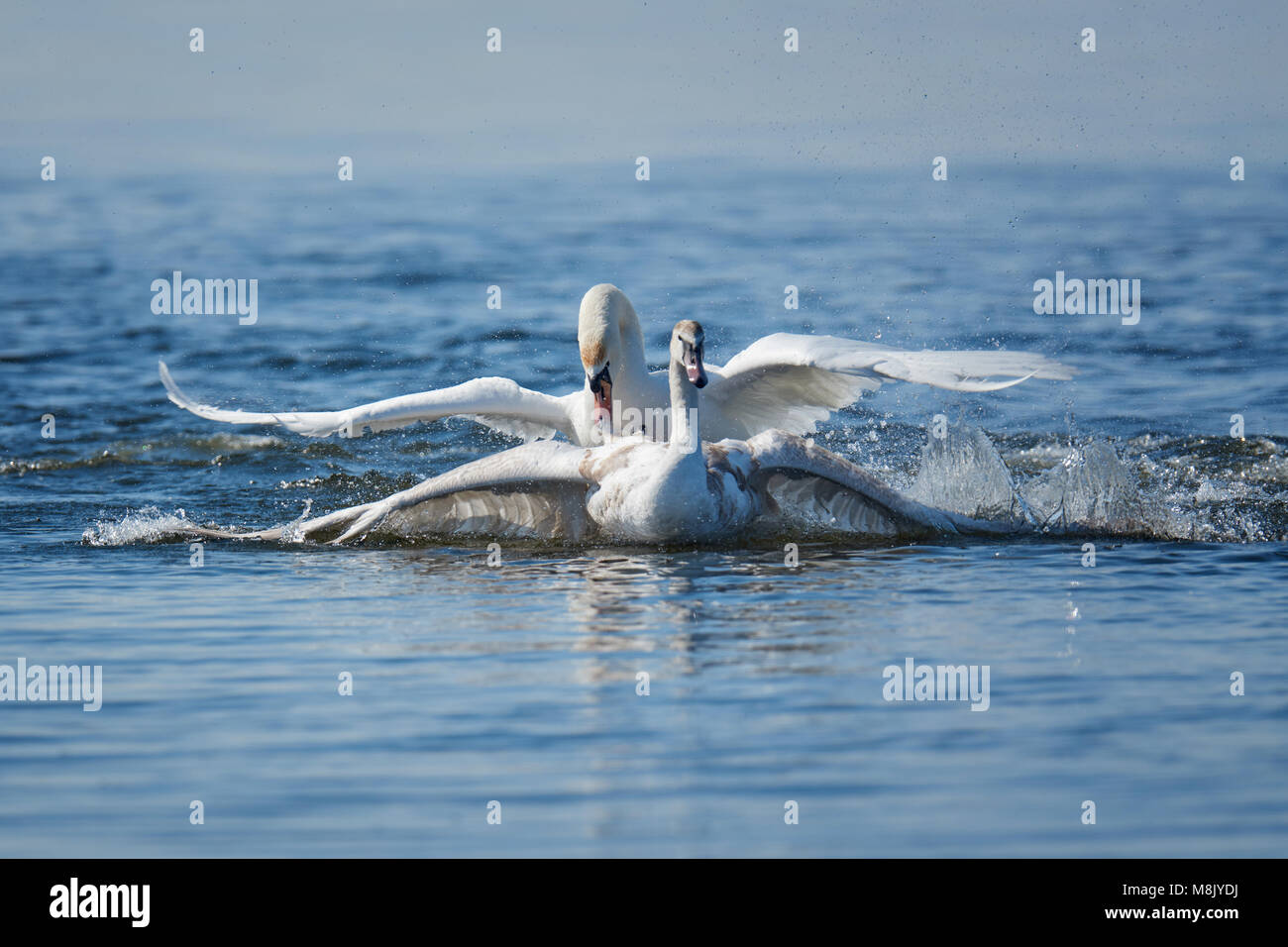 Two male swans, Cygnus olor, during a fight for supremacy in mating season on the River - Stock Image