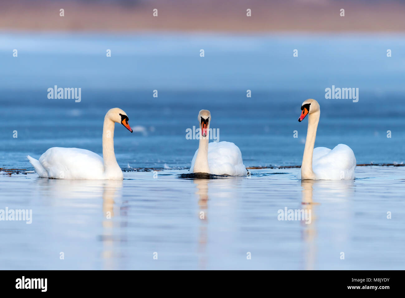 Three swans on the lake. Swan reflection in water - Stock Image