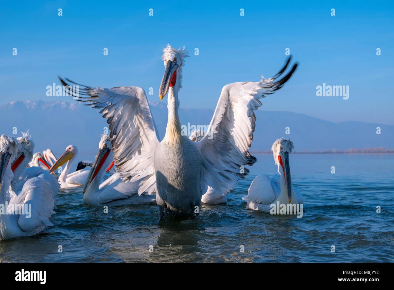 Dalmatian pelican, white big bird Stock Photo