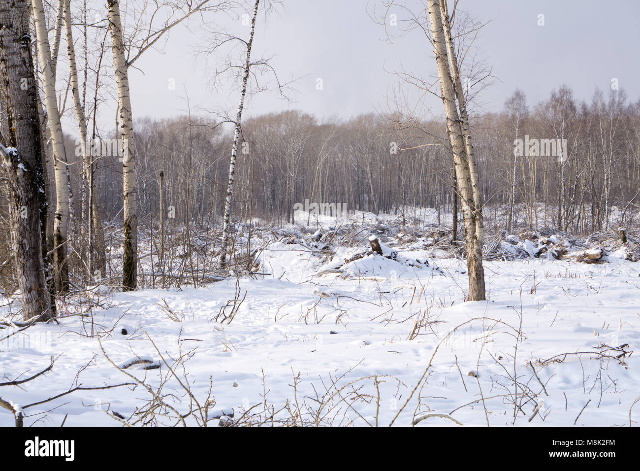 Snow covered dead tree trunk, collapsed and fallen over. Canadian winter scene - Stock Image
