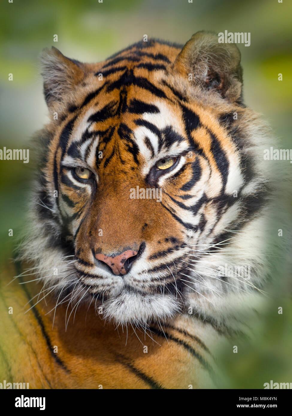 Sumatran tiger  Panthera tigris sondaica Captive zoo photograph - Stock Image