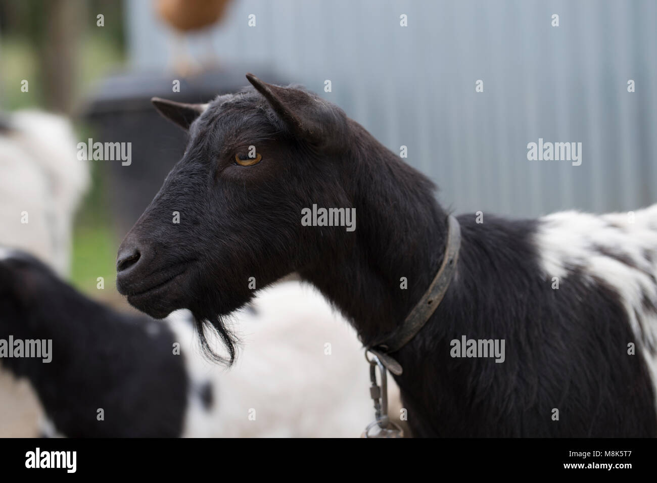 African pygmy goat - Stock Image