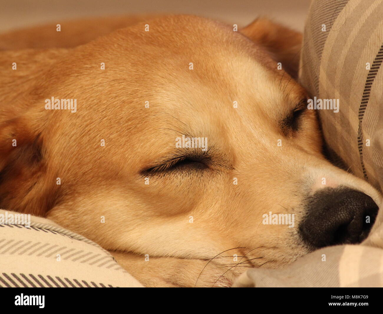 Golden labrador cross breed, BoJo sleeping after playing in the snow. - Stock Image