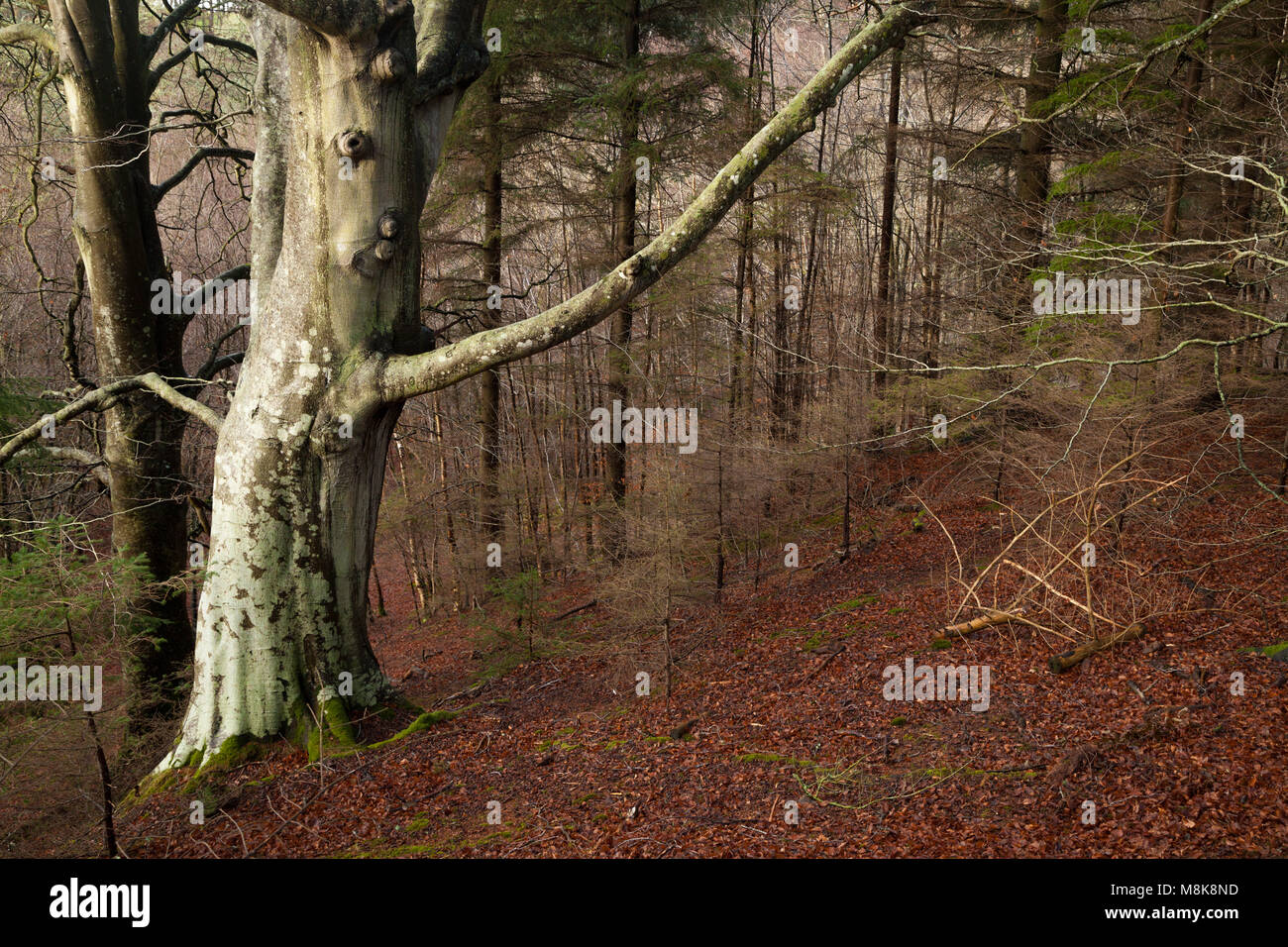 An old tree near Yester Castle Haddington Scotland - Stock Image