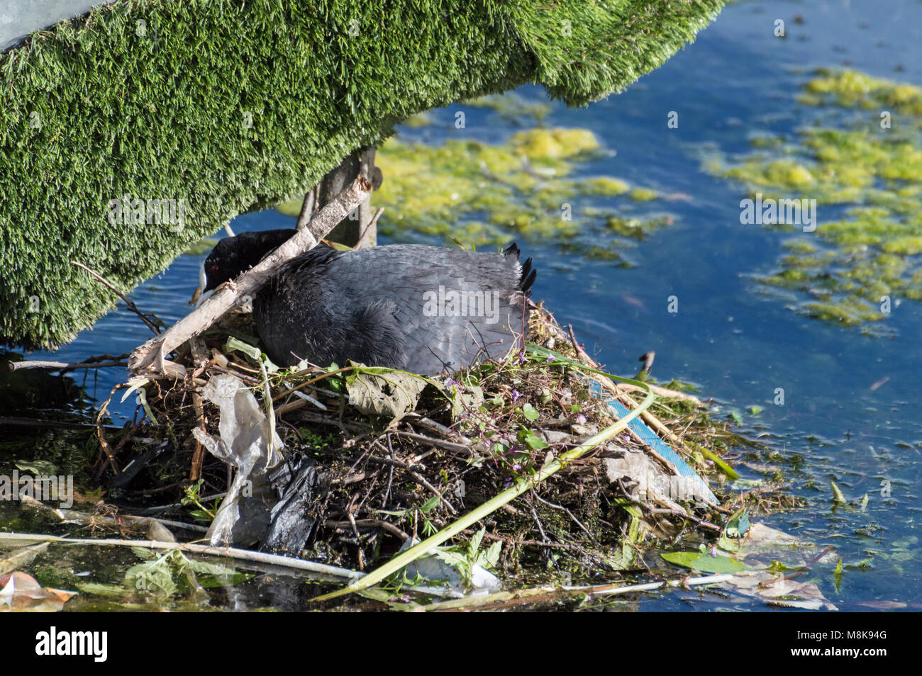 A close up of a single Coot with a stick in it's beak, building a nest with twigs, sticks, lichen, moss and - Stock Image