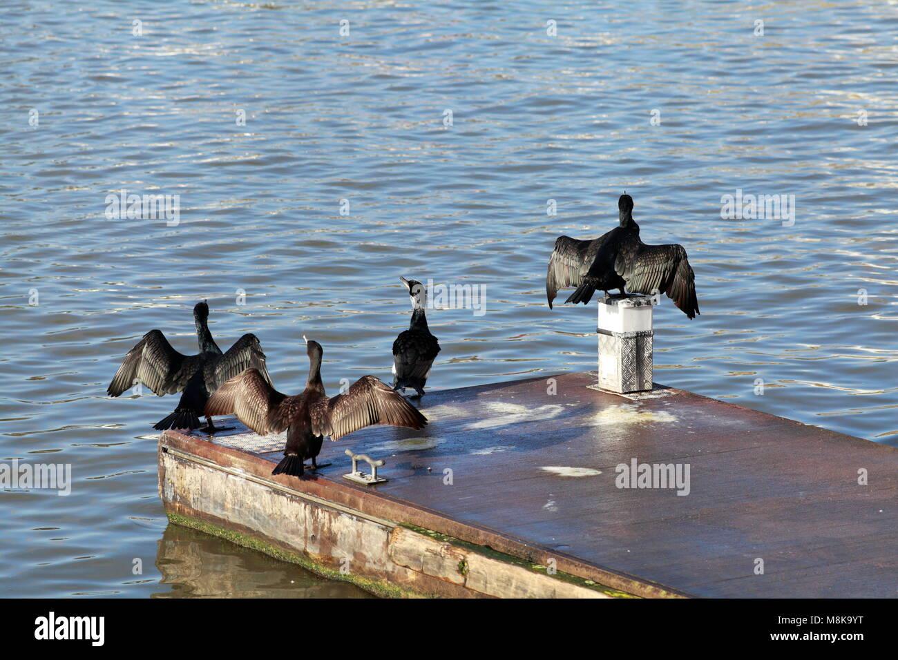Cormorants drying their wings, Bristol Harbour, UK Stock Photo