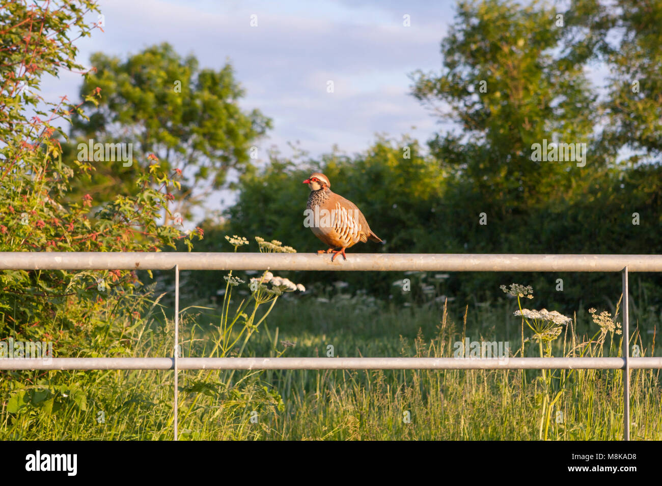 Partridge (Alectoris rufa)  , a small gamebird perched on a metal farm gate, side view. Melton Mowbray Leicestershire - Stock Image
