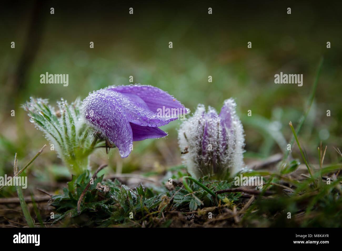 Große Kuhschelle im Herbst - Stock Image