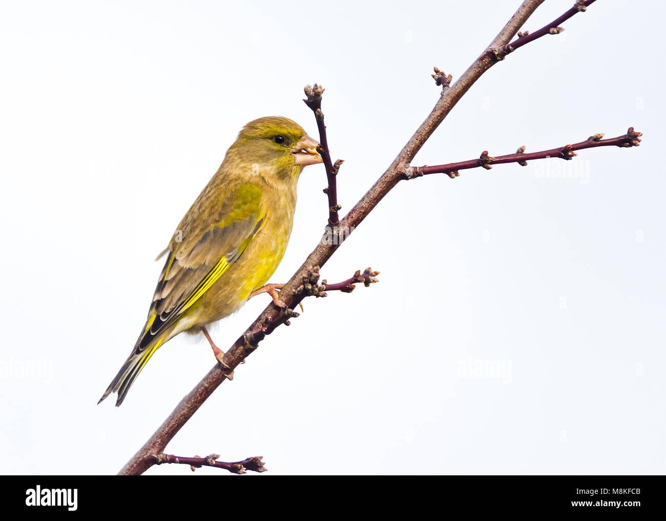 Closeup of a greenfinch (Chloris chloris )sitting on a twig - Stock Image