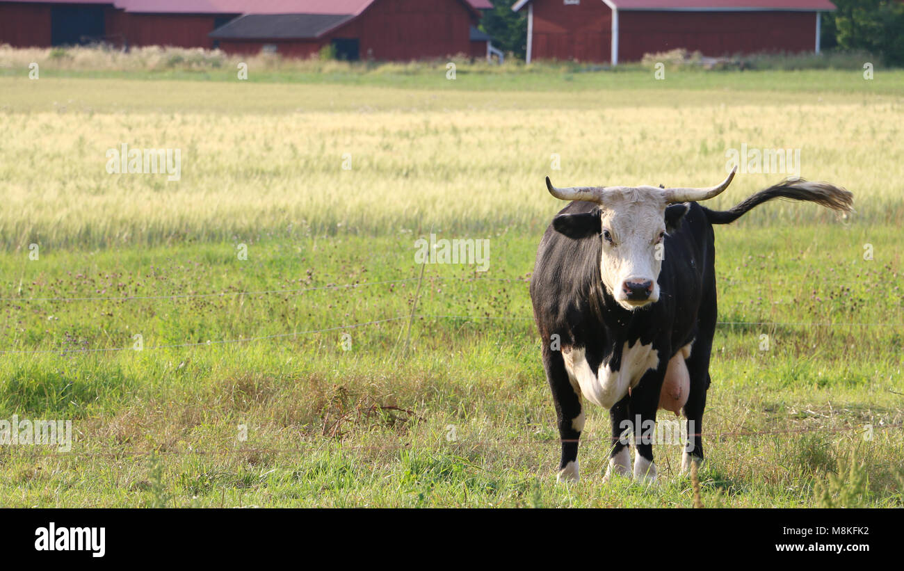 Cow standing in a field, in Sweden - Stock Image