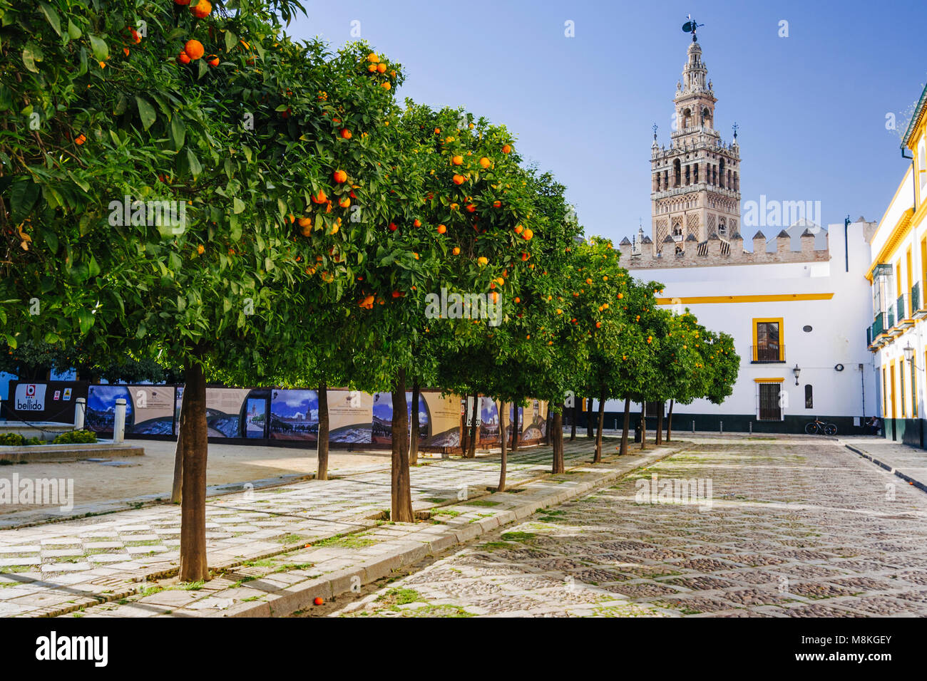 Seville, Andalusia, Spain : Orange trees at Patio de Banderas square in Santa Cruz district with Giralda bell tower - Stock Image