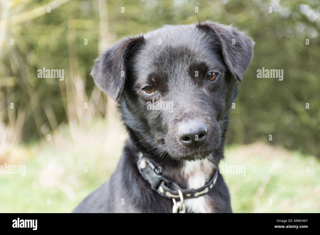 a black terrier type dog looking at camera - Stock Image