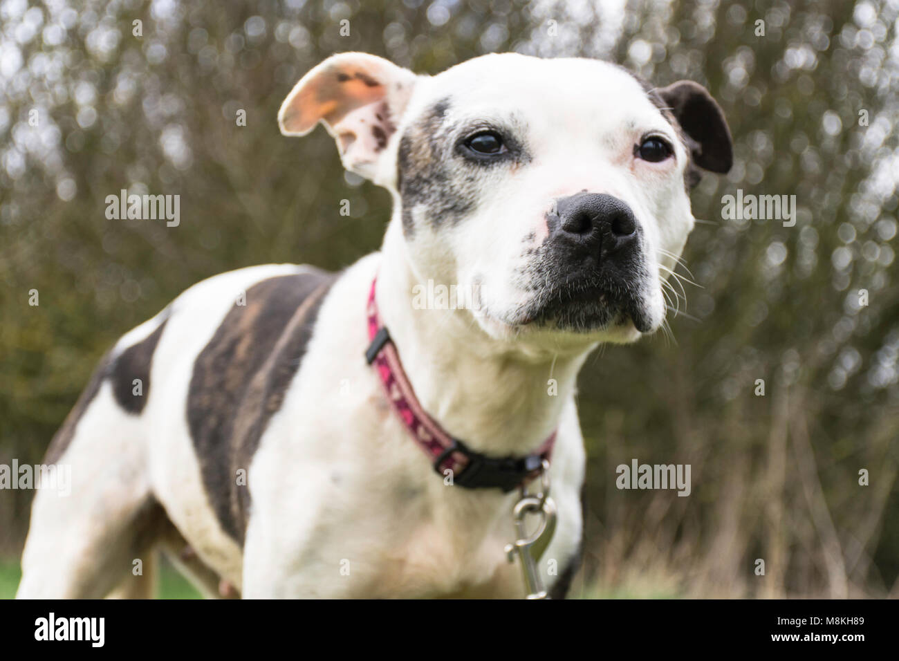 Staffordshire bull terrier looking at camera - Stock Image