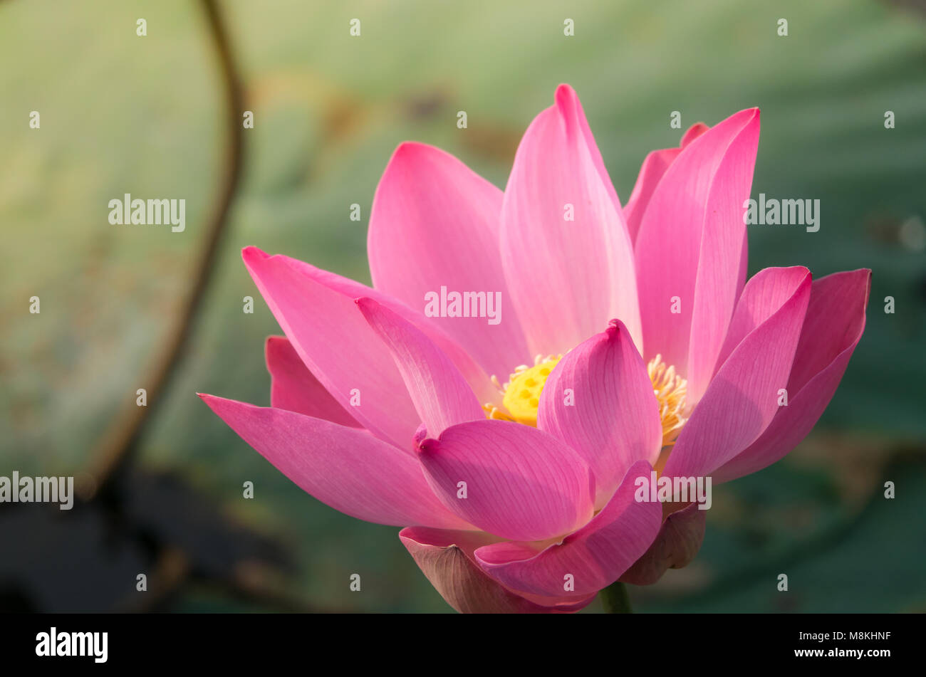 Pink lotus flower royalty high quality free stock footage of a pink lotus flower royalty high quality free stock footage of a beautiful pink lotus flower the background of the pink lotus flowers is green leaf izmirmasajfo