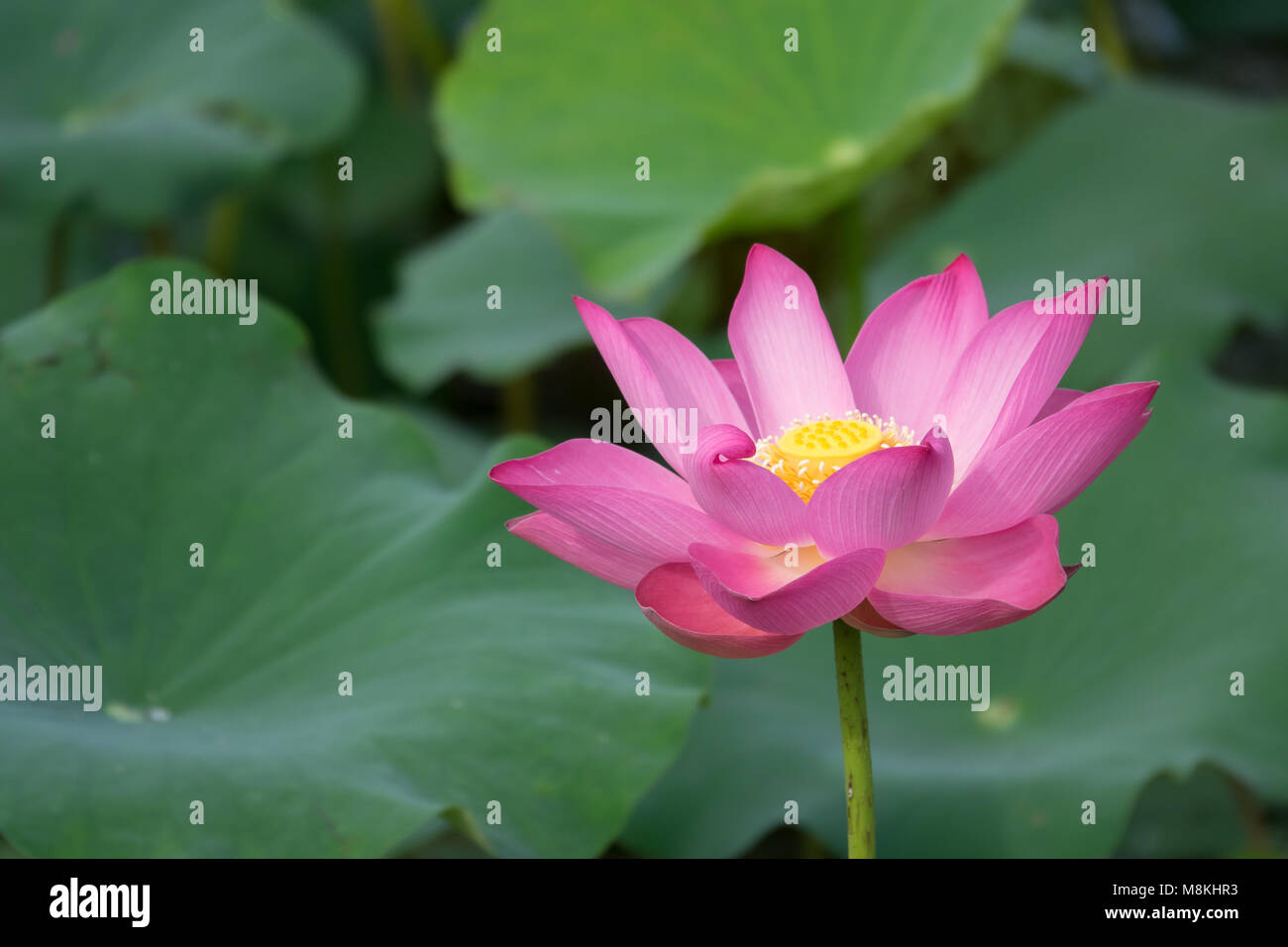 Pink lotus flower royalty high quality free stock footage of a pink lotus flower royalty high quality free stock footage of a beautiful pink lotus flower the background of the pink lotus flowers is green leaf izmirmasajfo Choice Image