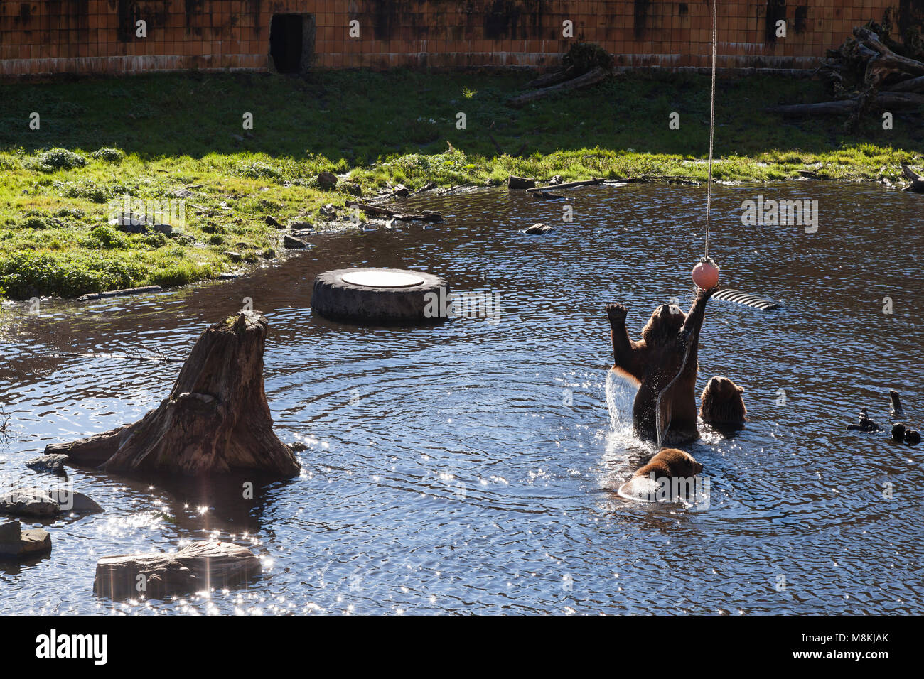 Sitka, Alaska: Three brown bears frolic at the Fortress of the Bear wildlife sanctuary in the Tongass National Forest. - Stock Image