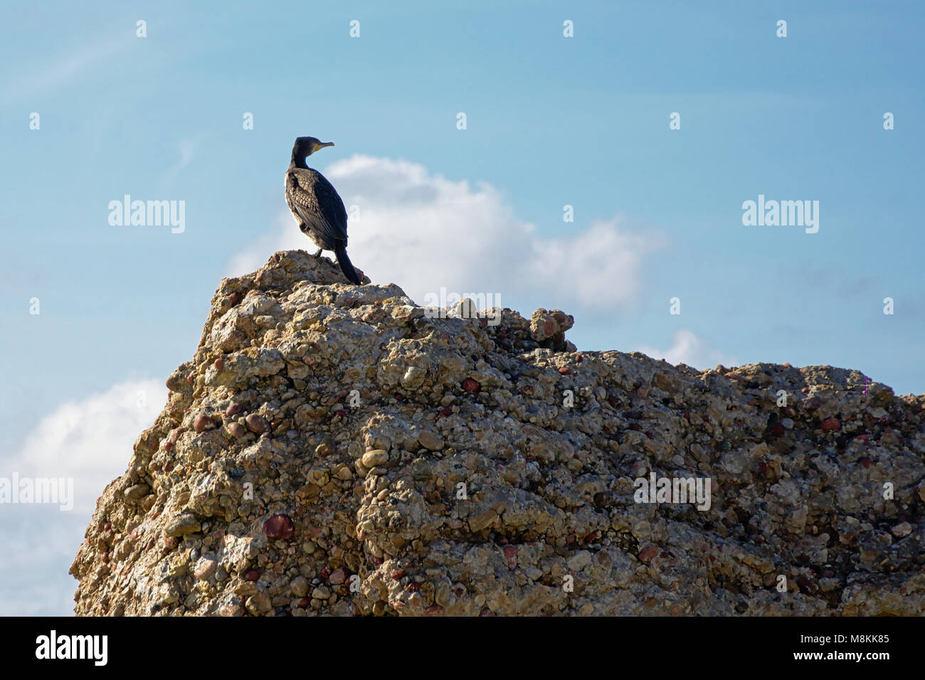 Cormorant sitting high on a worn piece of concrete, part of an old bunker in Karosta ex soviet base in Liepaja, - Stock Image