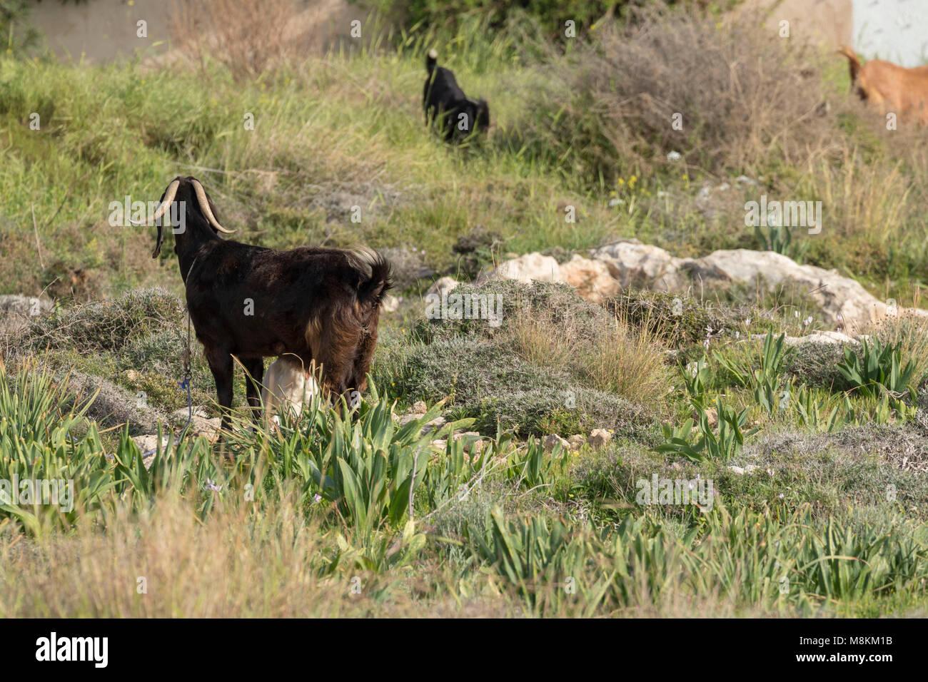 Cyprus Shami goat in vegetation in Kato-Paphos, Paphos, Cyprus, Mediterranean - Stock Image