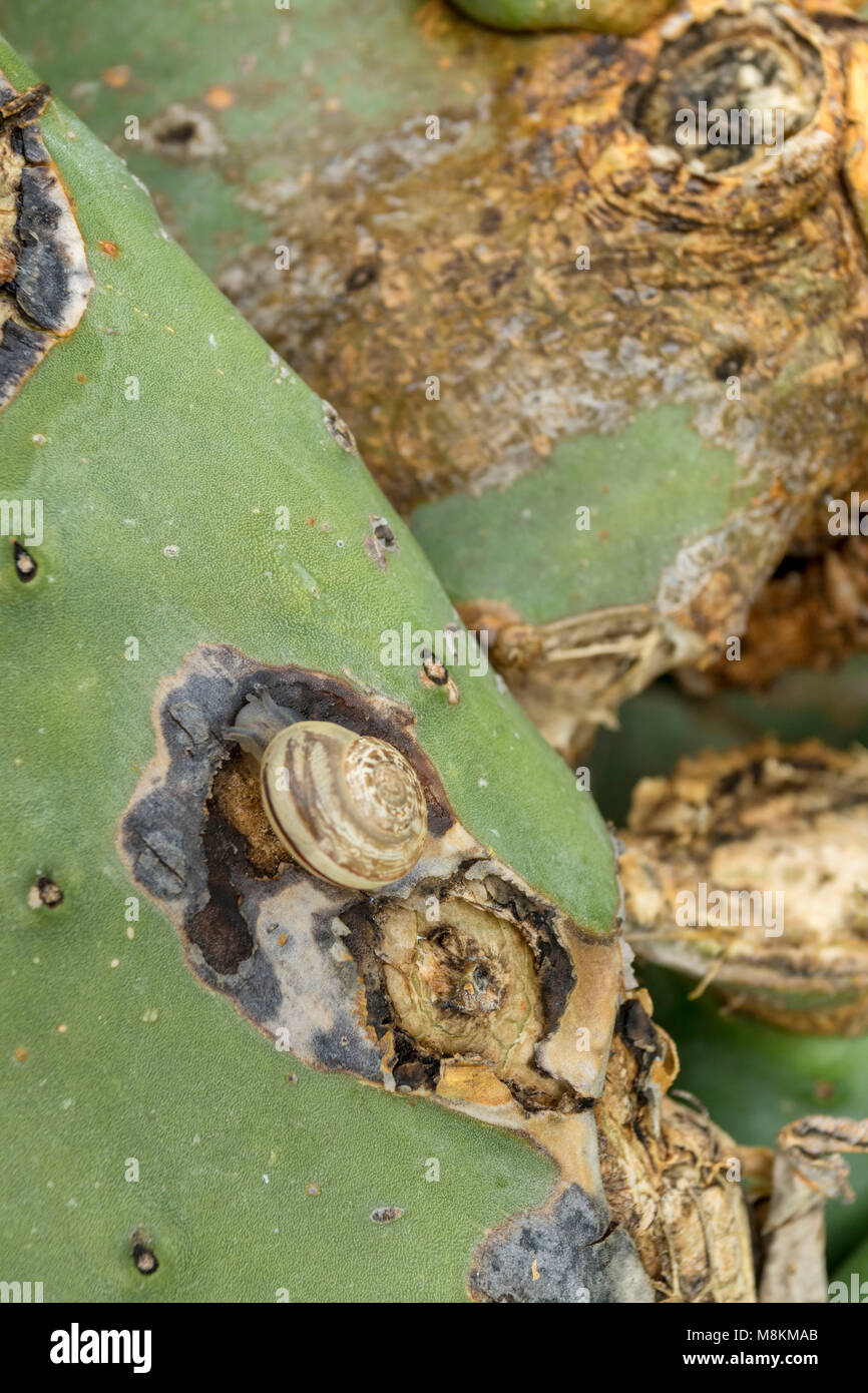 Snails eating into prickly pear cactus on the Mediterranean island of Cyprus - Stock Image