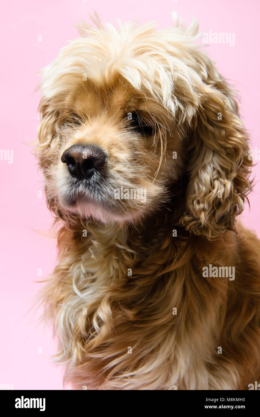 Portrait of an American cocker spaniel on a pink background - Stock Image